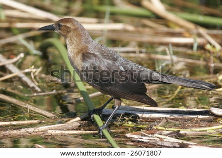 female common grackle. wallpaper Female Common
