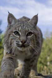 Female Bobcat adopts stalking pose