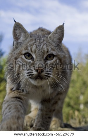 Female Bobcat adopts stalking pose