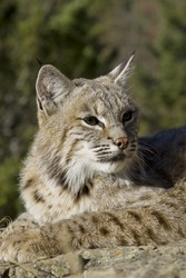 Female Bobcat in the woods