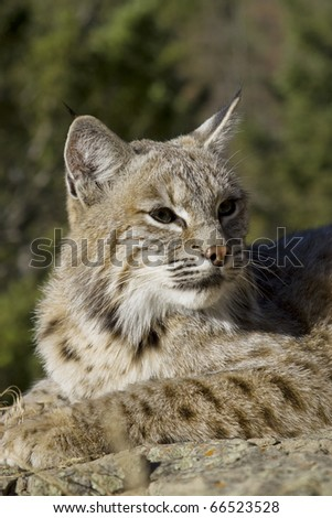 Female Bobcat in the woods
