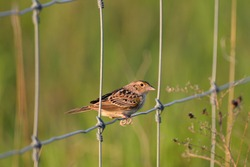 Female Bobolink bird sits perched on an agricultural fence
