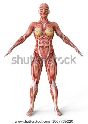 Female Body Without Skin Anatomy And Muscles 3d Illustration