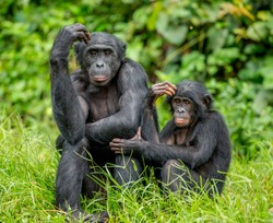 Female bonobo with a baby is sitting on the grass. Democratic Republic of the Congo. Africa.
