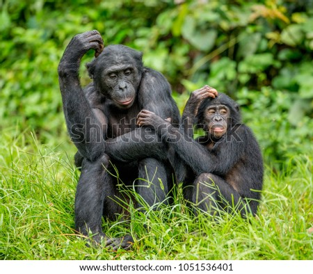 Female bonobo with a baby is sitting on the grass. Democratic Republic of the Congo. Africa. #1051536401