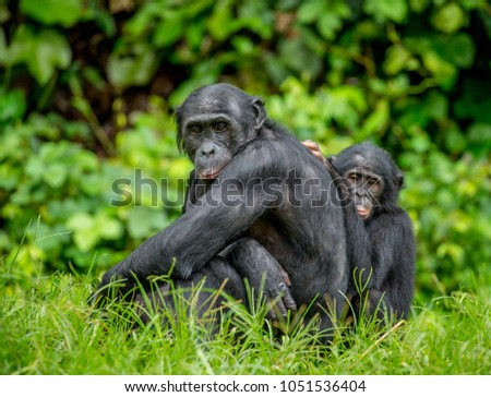 Female bonobo with a baby is sitting on the grass. Democratic Republic of the Congo. Africa. #1051536404