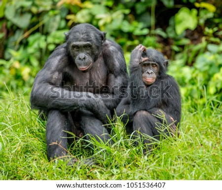 Female bonobo with a baby is sitting on the grass. Democratic Republic of the Congo. Africa. #1051536407
