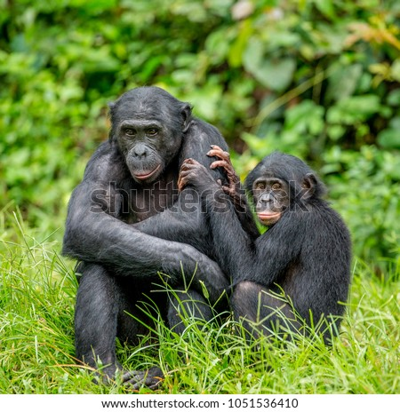 Female bonobo with a baby is sitting on the grass. Democratic Republic of the Congo. Africa. #1051536410