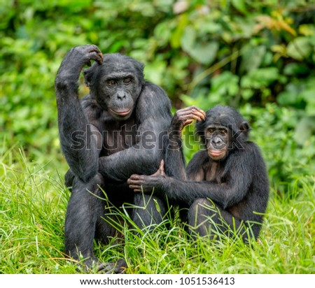 Female bonobo with a baby is sitting on the grass. Democratic Republic of the Congo. Africa. #1051536413