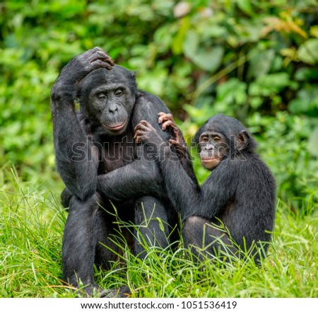 Female bonobo with a baby is sitting on the grass. Democratic Republic of the Congo. Africa. #1051536419