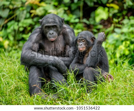 Female bonobo with a baby is sitting on the grass. Democratic Republic of the Congo. Africa. #1051536422