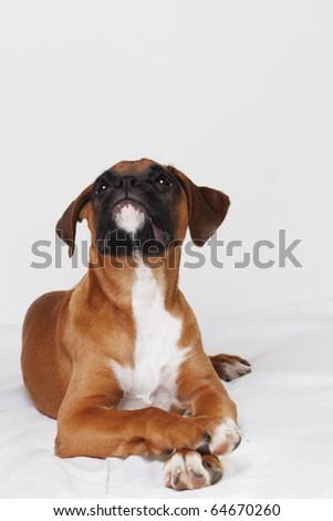 female boxer puppy