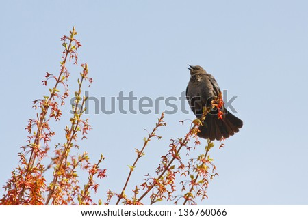 Female Brewer's Blackbird putting on a display of tail feathers during the Springtime