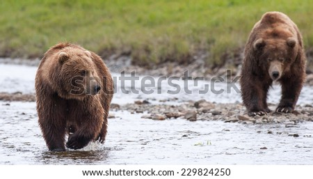 Female brown bear being followed (stalked) by large male brown bear during mating season