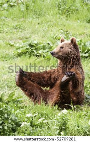 Female Brown Bear Doing She Body Building Exercise  #52709281