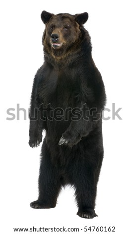 Female Brown Bear, 12 years old, standing in front of white background