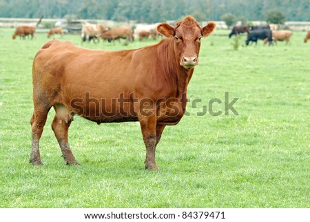 Female brown cow