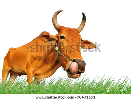 female brown cow eating fresh grass isolated on white background