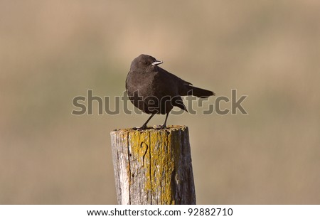 Female Brown headed Cowbird on fence post