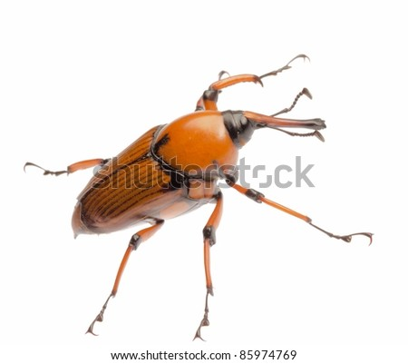 female brown palm weevil snout beetle, Rhynchophorus ferrugineus, isolated on white - stock photo