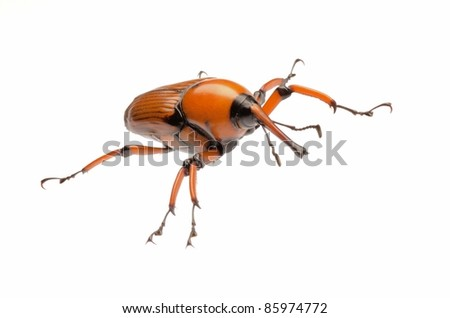 female brown palm weevil snout beetle, Rhynchophorus ferrugineus, isolated on white
