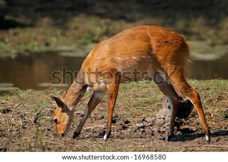 Female Bushbuck antelope, (Tragelaphus scriptus), Kruger National Park, South Africa