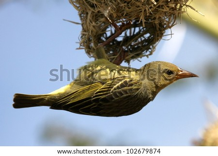 Female Cape weaver hangs off nest and inspects the nest for approval. Taken at Koffylaagte game lodge,eastern cape,south africa - stock photo