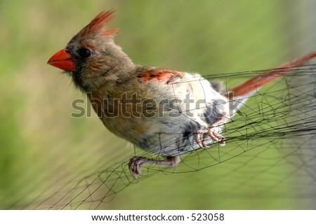 Female Cardinal Caught in Mist Net for West Nile Virus Studies
