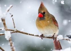 Female Cardinal.  Closeup of North American female cardinal in a beautiful winter scene.