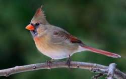 Female Cardinal in the forest