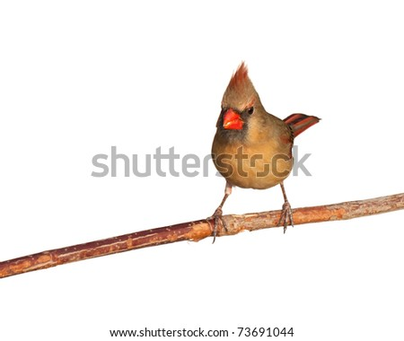 female cardinal looks forward while finishing tasty safflower seed, white background