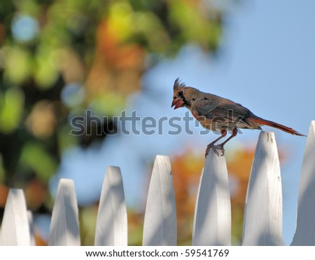 Female Cardinal on a white picket fence.