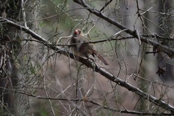Female cardinal perched on a tree limb