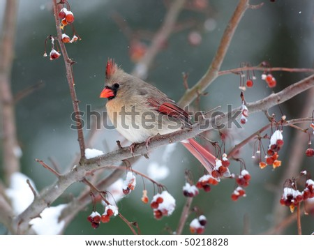 Female cardinal perched on branch in snowstorm