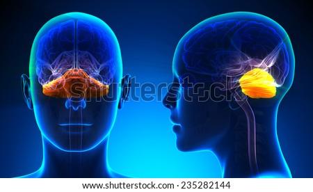 Female Cerebellum Brain Anatomy - blue concept