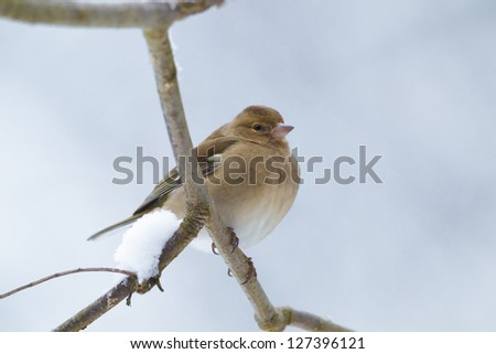 Female chaffinch (Fringilla coelebs) in winter
