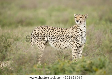 Female Cheetah (Acinonyx jubatus) in the Ndutu area of the Ngorongoro Conservation area of Tanzania