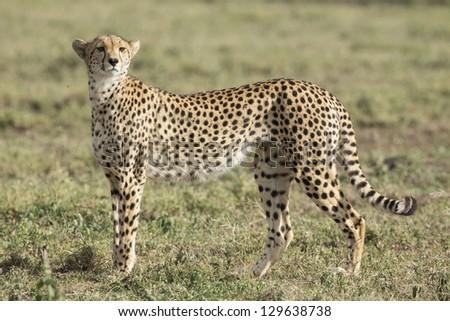 Female Cheetah (Acinonyx jubatus) in the Ndutu area of the Ngorongoro Conservation area of Tanzania