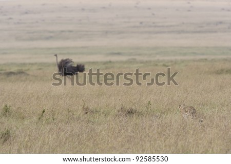 Female Cheetah hunting an Ostrich