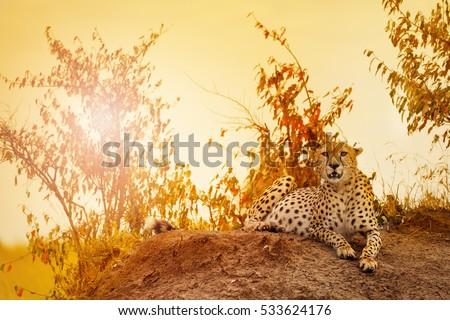 Female cheetah laying on sunset at Kenyan savanna