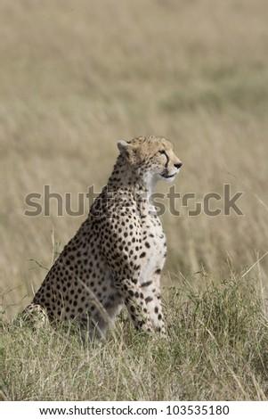 Female Cheetah looking over the Masai Mara