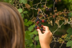 female child wild Blackberry foraging