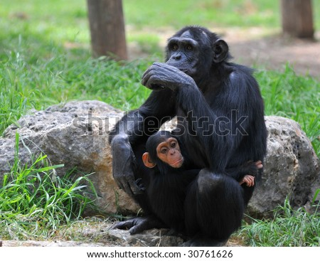 Female chimpanzee sitting on the stone with her baby
