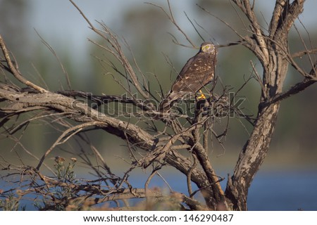 Female Cinereus Harrier (Circus cinereus) perched on a dead tree. Patagonia, Argentina, South America