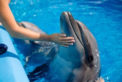 Female coach with Dolphin. Woman touching and playing with Bottlenose Dolphins in blue Water. Dolphin Assisted Therapy