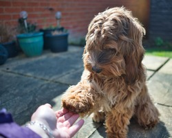 Female cockapoo bitch. 7 month old puppy. Cute face with gorgeous shaggy coat and biscuit colours. Pretty and cute dog holding it's paw to owners hand. Dog tricks. Dog behaviour. Bonding with owner.