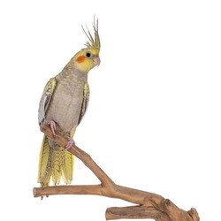 Female Cockatiel bird aka Nymphicus hollandicus, sitting side ways on wooden branch. Isolated on white background. Crest up.
