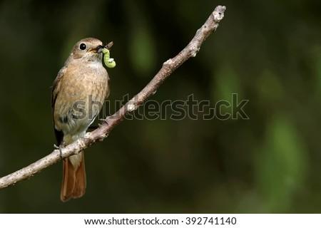 female Common redstart