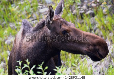 Female Cow Moose in the tundra in Denali National park Alaska
