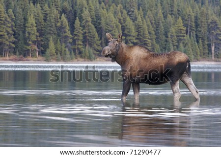 Female cow Moose in water with green trees in background